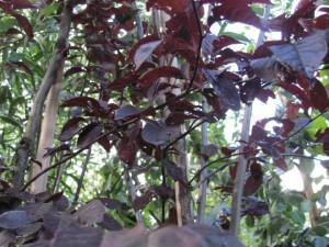 Blad Prunus
