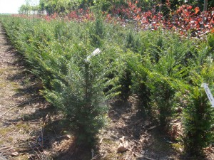 Taxus Baccata 2