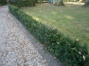 Taxus Baccata 4