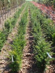Taxus baccata 1